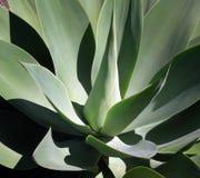 Agave, succulente installatie. Stock Foto