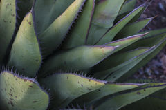 Agave. Taken on the desert of Baja California Royalty Free Stock Photography