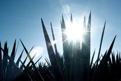Agave Tequilalandschaft nach Guadalajara, Jalisco, lizenzfreie stockfotografie