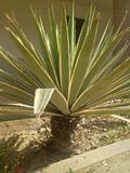 Agave TequilanaPlants royalty free stock photos
