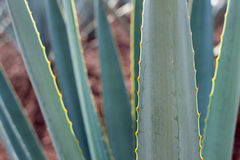 Agave tequilana plant detail Royalty Free Stock Images