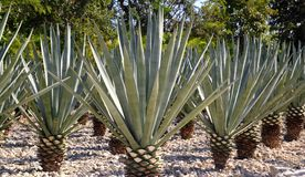 Agave tequilana plant for Mexican tequila liquor. Agave tequilana plant to distill Mexican tequila liquor Royalty Free Stock Photos