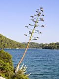 Agave - tree. Agava (agave) tree over the see with sky as background. Ancient and unique croatian plat flowering once in hundred years life time and die after stock photo