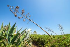 Agave tree branch stretching to the sky on the Algarve, Portugal, Europe Royalty Free Stock Photography