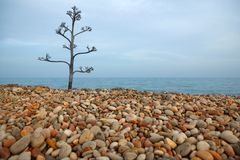 Agave tree on a rolling stone beach. Agave tree growing in a rolling stone mediterranean beach Royalty Free Stock Photography