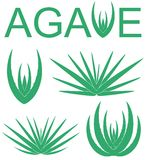 Agave. Vector illustration (EPS 10 Royalty Free Stock Images