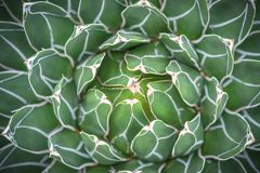 Agave victoria-reginae cactus closeup view. In Sheffield Botanical Gardens Royalty Free Stock Photo