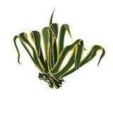 Agaveamerikan i färg Royaltyfri Foto