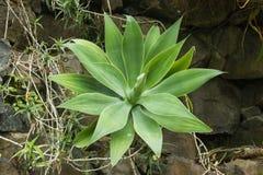 Agaveattenuata-, liions svans-, foxtail- eller svans hals som är botanisk Arkivfoto