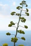 Agavebloem en installatie met Middellandse Zee mening Royalty-vrije Stock Foto's