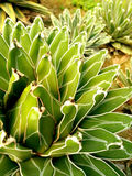 Agavecactus 4: Groen & Witte woestijninstallatie - Royalty-vrije Stock Afbeeldingen