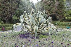 Agaven är söder - amerikan Royaltyfri Fotografi