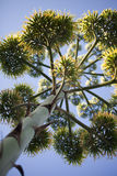 Agaven-Blume Stockbild