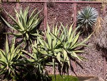 Agaven-kletternde Straßen-Wand stockfoto