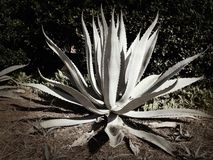 Agavenanlage in einem Florida-Garten Stockfotografie