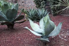 Agavenanlagen mit dornigen Rändern in einem saftigen Garten lizenzfreie stockfotografie