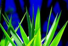 Agavenblätter Stockbild