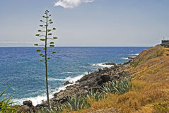 Agavenblume auf Atlantikküste stockfoto