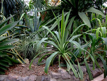 Agaves grow in botanical garden Royalty Free Stock Image