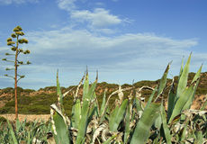 Agaves plants with flower. A shot of a group of agaves plants in Sardinia Royalty Free Stock Photo