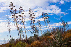 Agaves in Sardinia Stock Images