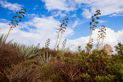 Agaves in Sardinia Stock Photos