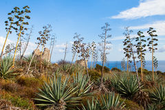 Agaves in Sardinige Stock Afbeelding