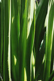 Agavetjänstledigheter, tropisk grönska, abstrakt naturbakgrund Royaltyfri Bild