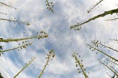 agaveväxt Arkivfoto