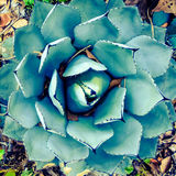 agaveväxt Royaltyfri Bild