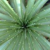 Agaveväxt i öken Arkivbild