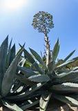 Agaveväxt i blom Arkivfoto