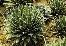 Agavevictoriae-reginae Stock Foto's