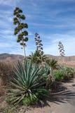 Agavo floreciente en Fuerteventura Foto de archivo