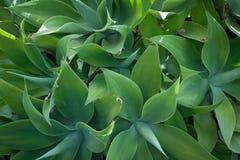 Agavo, planta suculenta foto de archivo