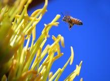 Agavo y abeja Fotos de archivo