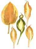 Agavoideae susi naciskający liście Obraz Stock
