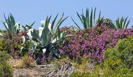 Agaw purpur i rośliny kwiaty Fotografia Royalty Free