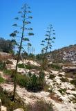 Agaw rośliny na południowym wybrzeżu Malta Fotografia Royalty Free