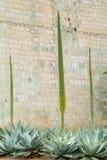 Agaw rośliny przed ścianą przy Oaxaca Obraz Royalty Free