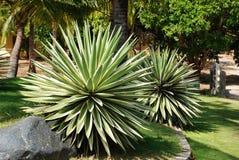 agaw rośliny Zdjęcia Royalty Free