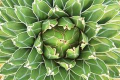 Agaw victoriae-reginae (gavaceae) Fotografia Stock