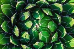 Agaw victoriae-reginae królowej Wiktoria agawa, królewska agawa, mali gatunki zauważający dla swój smug biel dalej tłustoszowata  Zdjęcie Royalty Free