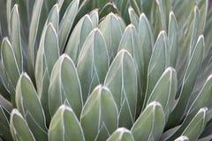 Agaw victoriae reginae liści tło Obrazy Stock