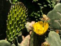 Agawa黄色花 库存图片