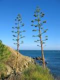 agawa americana Zdjęcie Royalty Free