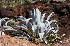 Agawa Americana kaktus  Zdjęcie Royalty Free
