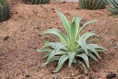 agawa americana Zieleń liści roślina w pustynia ogródzie Obrazy Royalty Free