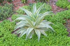 agawa americana Zieleń liści roślina w pustynia ogródzie Obraz Stock