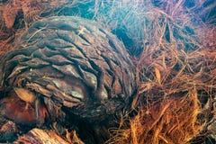 Agawa ananasa zbliżenie Zdjęcie Stock